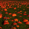 December pumpkins in Half Moon Bay, CA