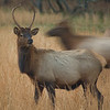 Elk in the valley
