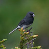 &quot;Junco on evergreen branch&quot; - Winner, 2nd Place, Animals in Nature category in 2010 Grandfather Mountain Nature Photography contest